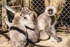 Schwärzen Sie gegenübergestellte Langur-Affen im Käfig in zoologischem Himalajapark Padmaja Naidu bei Darjeeling, Indien Stockfoto