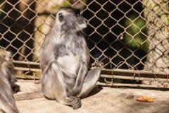 Schwärzen Sie gegenübergestellten Langur, den Affe im Käfig in zoologischem Himalajapark Padmaja Naidu bei Darjeeling sitzen, Ind Lizenzfreies Stockfoto