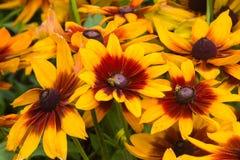 Schwärzen Sie gemustertes Susan-, Rudbeckiahirta, Rote und Gelbe Blumennahaufnahme, selektiver Fokus, flacher DOF Stockfotos