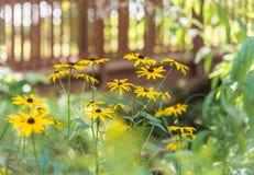 Schwärzen Sie gemustertes Susans im sonnigen Sommergarten mit Brücke im Hintergrund lizenzfreie stockbilder