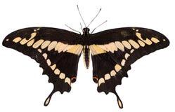 Schwärzen Sie mit dem gelben Schmetterling, der auf dem weißen Hintergrund lokalisiert wird Lizenzfreies Stockbild