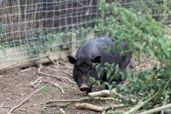 Schwärzen Sie Schwein lizenzfreie stockfotografie