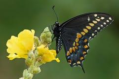 Schwärzen Sie Swallowtail Basisrecheneinheit Lizenzfreies Stockbild