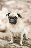 Schwärzen Sie und bräunen Sie Pugzuchthund an der roten Knospeninsel, Austin Texas Lizenzfreies Stockbild