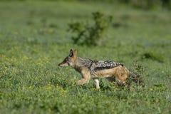 Schwärzen Sie unterstützten Schakal auf der Jagd, Addo Elephant National Park Stockfotos