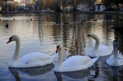 schw?ne Der Teich im Park Am Sonnenuntergang stockfotos