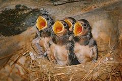 Schwalbe Birdlings mit den offenen Schnäbeln Stockbilder