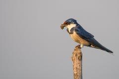 Schwalbe, die Schlamm für Nest sammelt Stockfotos