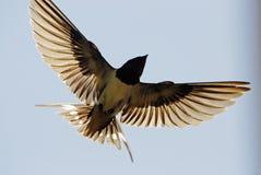 Schwalbe, die zum Himmel fliegt Lizenzfreies Stockbild