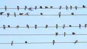 Schwalben auf dem Draht sitzen als musikalische Anmerkungen stock footage