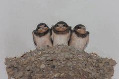 Schwalben auf dem Nest Stockfotos