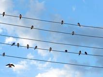 Schwalben auf Drähten auf Himmelhintergrund Lizenzfreie Stockfotografie