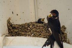 Schwalben in die kleinen Schwalben des Nestes drei und in die Mutter Stockfotografie