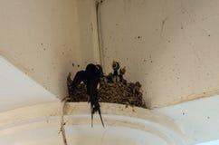Schwalben in die kleinen Schwalben des Nestes drei und in die Mutter Lizenzfreie Stockfotografie