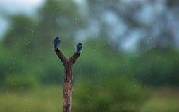 Schwalben im Regen Stockbild