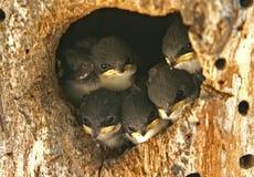 Schwalben-Nest lizenzfreies stockbild
