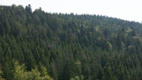 Schwalbenleben und -fliegen im schwarzen Wald stock video