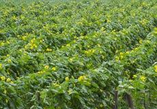 Schwamm-Kürbis-glatte Luffaschwamm-Plantage Stockfotografie