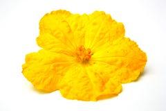 Schwamm-Kürbisblumen. Lizenzfreie Stockfotografie