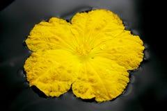 Schwamm-Kürbisblumen. Stockbilder