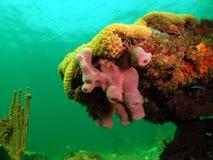 Schwamm-Koralle stockbilder