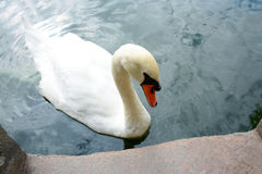 Schwan stockfotos