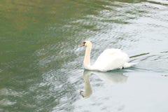 Schwan auf dem See Lizenzfreies Stockfoto