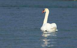 Schwan auf dem See Stockbild