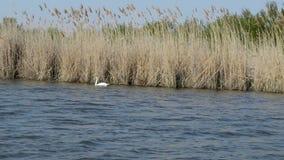 Schwan auf dem See im Naturreservat stock footage
