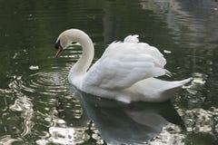 Schwan auf dem See mit Reflexion stockbild