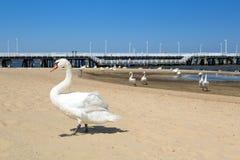 Schwan auf dem Strand in Sopot stockfotos
