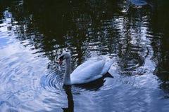 Schwan auf dem Wasser stockfotos