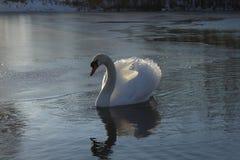 Schwan auf einem gefrorenen See Stockbild