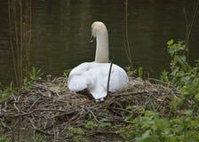 Schwan auf einem Nest Lizenzfreies Stockfoto