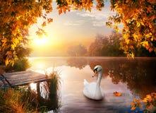 Schwan auf Herbstfluß stockbilder