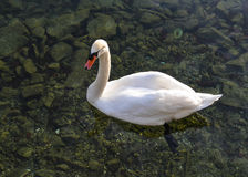 Schwan auf Lucerne See Lizenzfreie Stockfotos