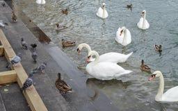 Schwan auf Lucerne See Stockfotos