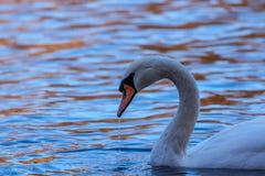 Schwan auf reflektierendem Wasser im Herbst Stockbild
