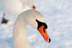 Schwan auf Schnee. Lizenzfreies Stockbild