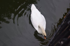 Schwan auf tne Teich Lizenzfreies Stockbild