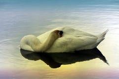 Schwan, der auf dem Wasser schläft Stockbild