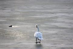 Schwan, der auf einen gefrorenen Fluss im winterin Pancevo, Serbien, beim Schauen in Richtung der Kamera geht Lizenzfreies Stockbild
