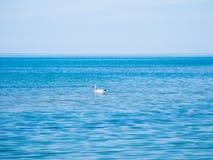 Schwan, der in das blaue Wasser des Schwarzen Meers schwimmt Lizenzfreie Stockfotografie
