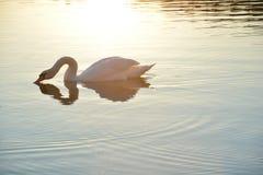 Schwan, der in einem sonnigen See badet Stockbilder