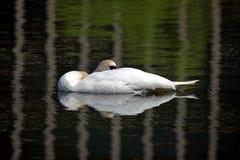 Schwan, der in einem Teich stillsteht Lizenzfreie Stockbilder