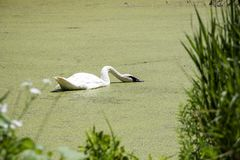 Schwan, der in einen Teich an einem heißen Tag einzieht lizenzfreie stockfotos