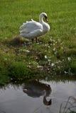 Schwan, der entlang des Wassers anstarrt Stockfotos