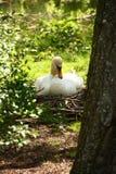Schwan, der ihre Eier züchtet Lizenzfreies Stockbild