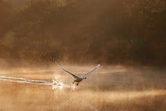 Schwan, der im nebelhaften Morgen sich entfernt Lizenzfreies Stockfoto