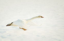 Schwan, der im Schnee sich entfernt Lizenzfreie Stockbilder